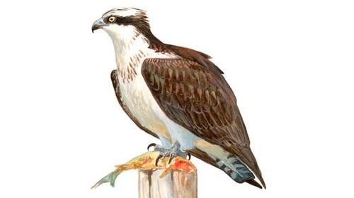 O-Live en el Día del Águila Pescadora en Andalucía