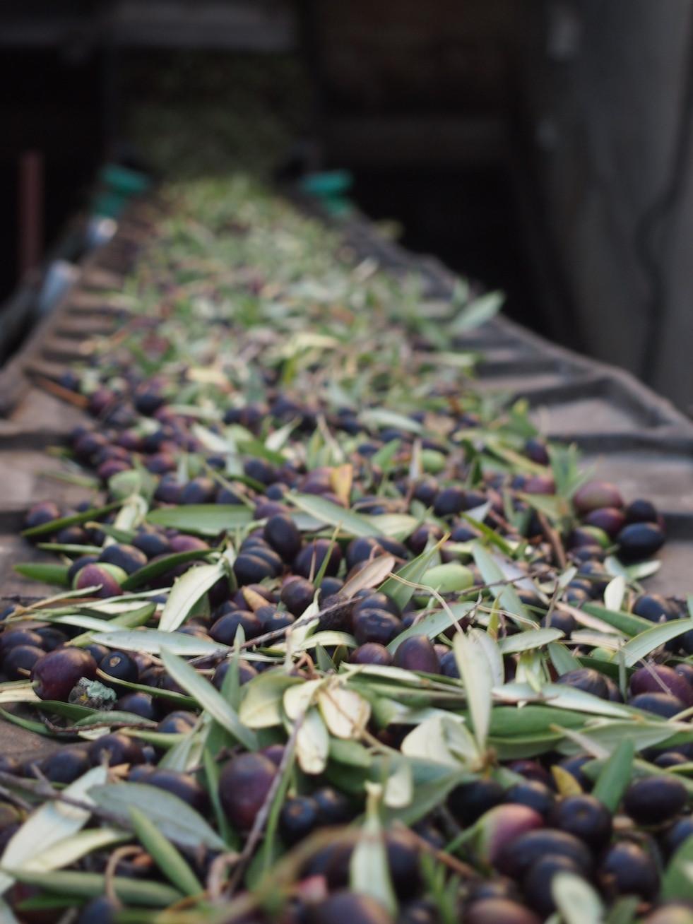 oliva zorzaleña