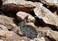 Conejo silvestre O-Live
