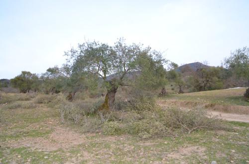 En febrero finalizó la poda de los olivos de nuestra reserva