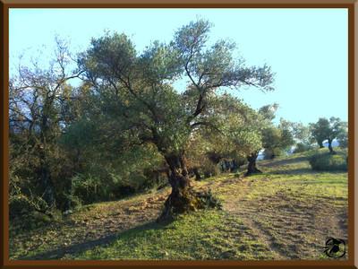 Primeros olivos apadrinados