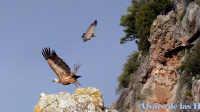 Jornadas de las aves necrófagas. Andalucía frente al reto de la conservación del alimoche.