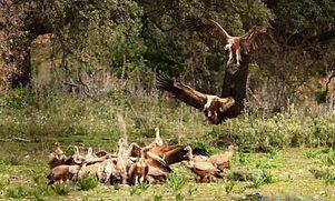 Buitres leonados