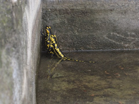 Adulto de salamandra atrapado en una fuente
