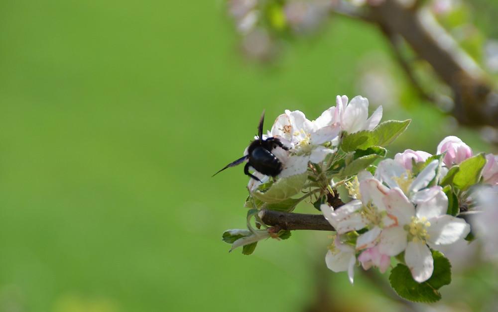 Xylocopa violacea, un abejorro polinizador