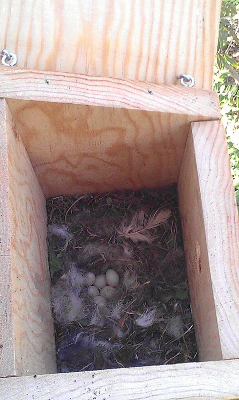 huevos caja nido.jpg