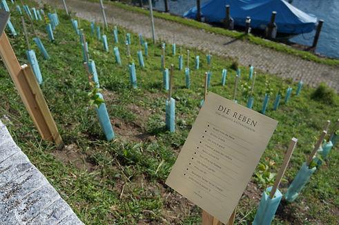 Beschrieb der Reben des Rebberg Seehotel Kastanienbaum