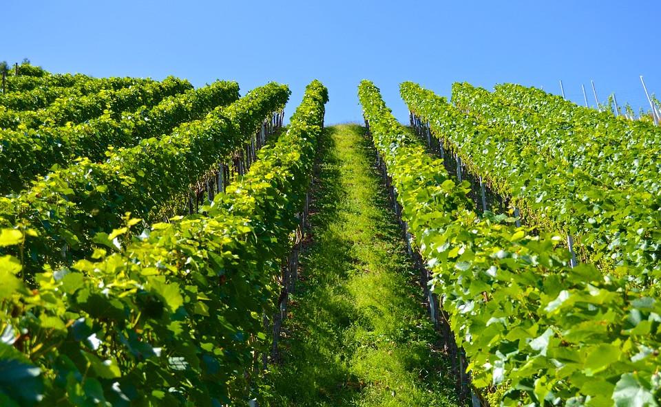 vineyard-1612092_960_720.jpg