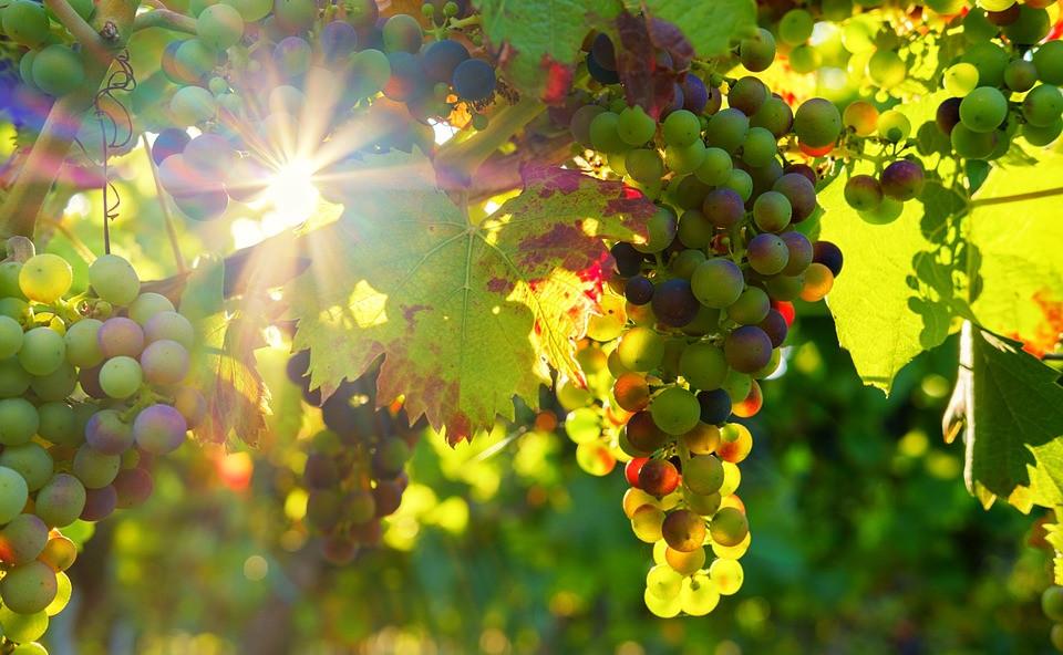 grapes-3550729_960_720.jpg