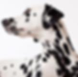 ダルメシアン犬