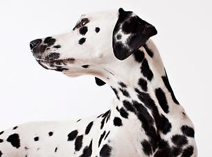 Dalmatiner-Hund Ausschlussdiät BARF Futterplan BARF Hund und Katze Frankfurt