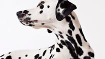 Risk Factors for Canine Bloat