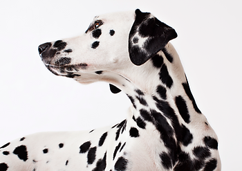 healthy dalmatian pet