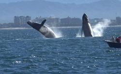 Bucerias Whales