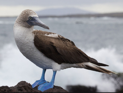 Blue Footed Booby Bucerias Tours