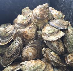 Jody's Bucerias Oysters Wildlife