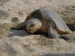 Jody's Bucerias Turtle Nesting
