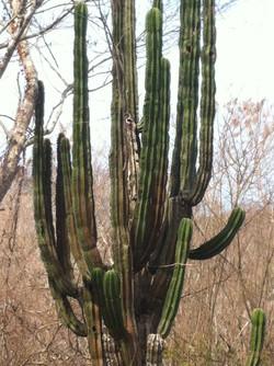 Cactus Bucerias Jody's Bucerias