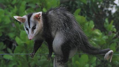 Possum Mexico
