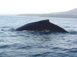 Jody's Bucerias Whale Watching