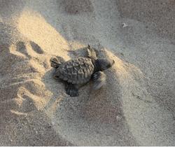 Jody's Bucerias Turtle Release