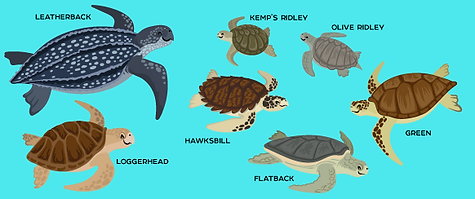 All types of Sea Turtles in the world.PN