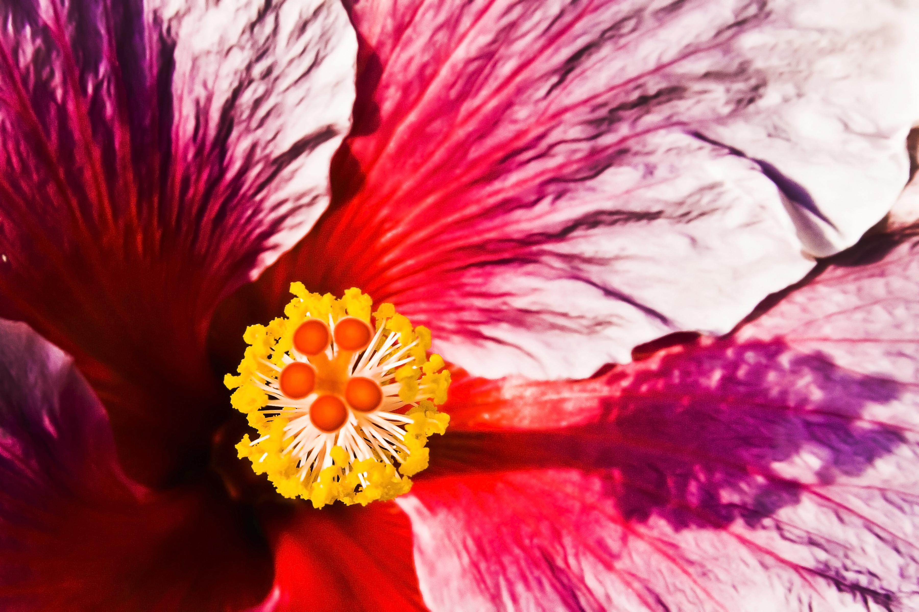 Bouton_d'or_en_fleur