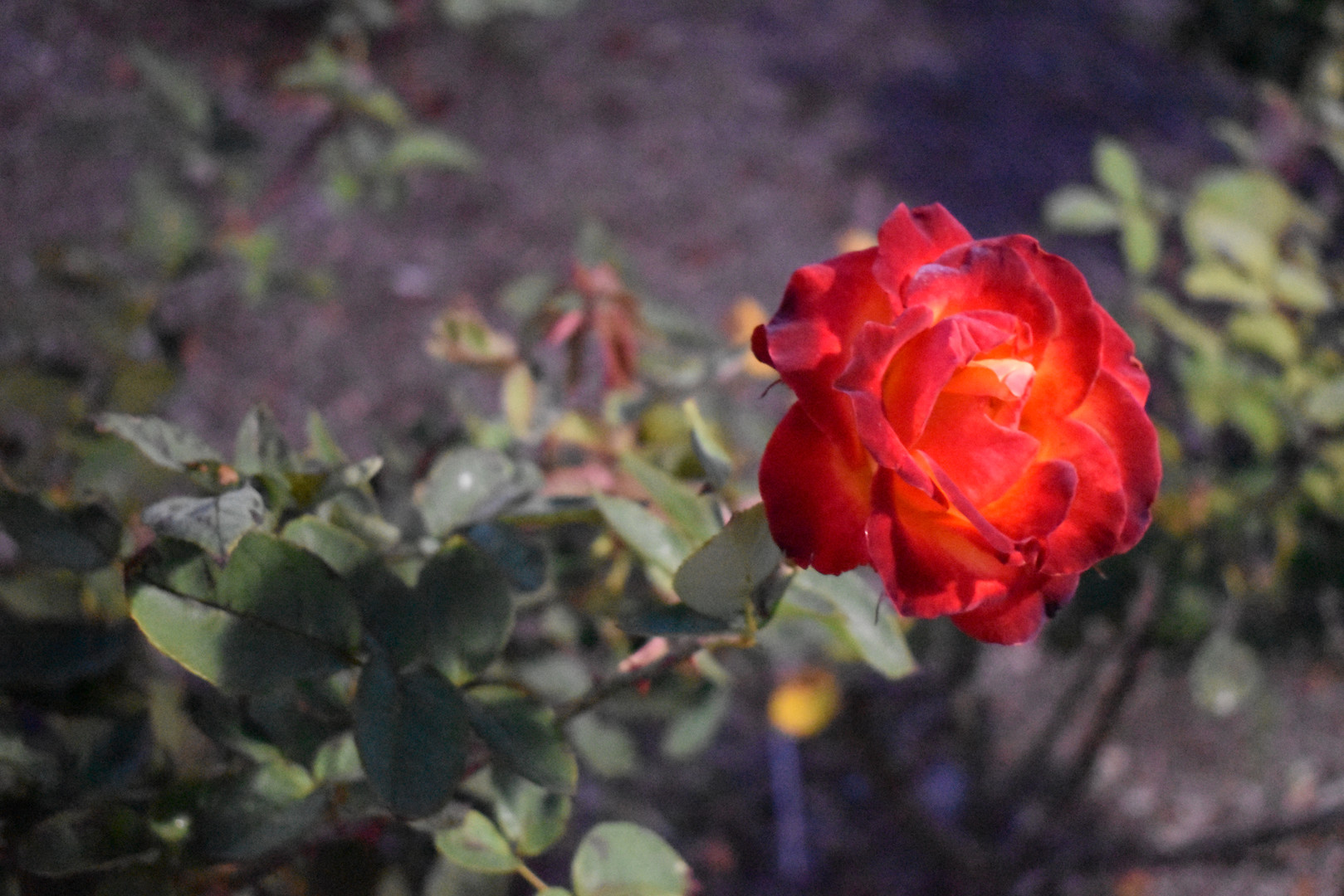 Beast's_Rose.JPG