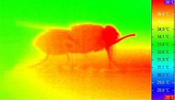 Tsetse fly during feeding thermogram