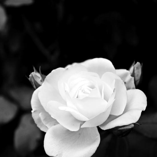 weiße_rose_eppan.JPG