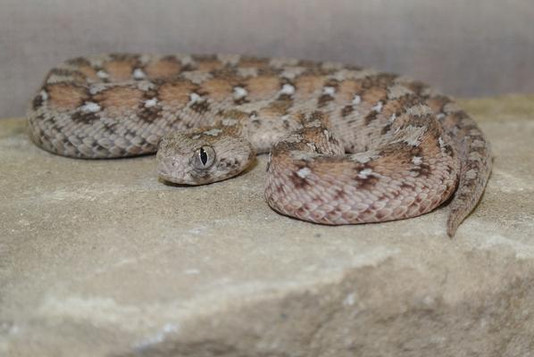 Saw-scaled Viper (Photo by Paul Rowley)