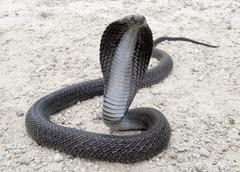 Spectacled Cobra (Photo by Vivek Sharma)