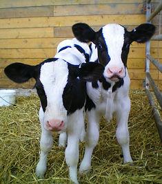 Calf Disbudding Calf Dehorning