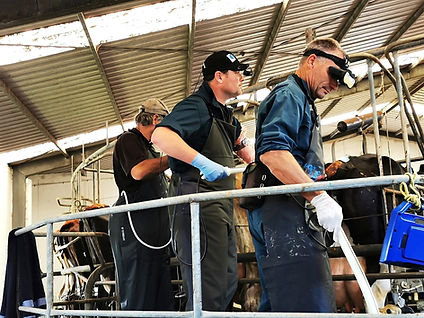 Pregnancy Scanning Cows with a team