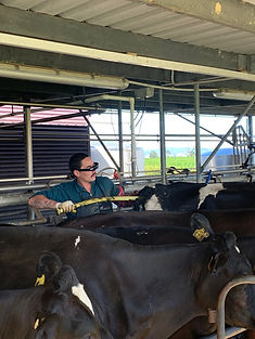Pregnancy Scanning Cows New Zealand
