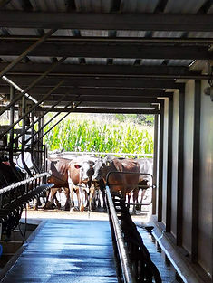 Farm Services, Cow Scanning and Calf Dehorning