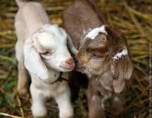 Goat kids ready for disbudding