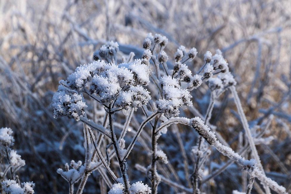 Schneebluete31012021.jpg