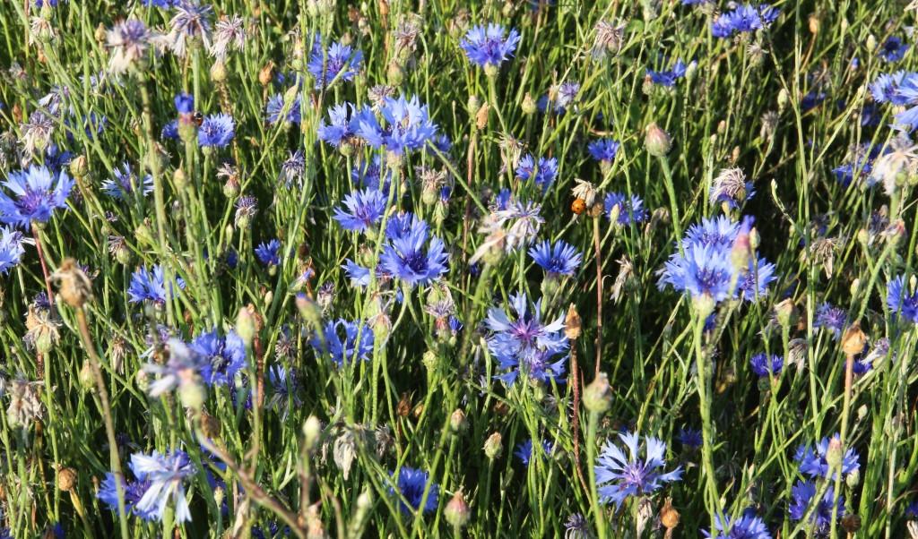 Kornblumen mit Insekten 2018
