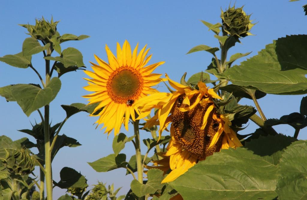 Sonnenblumen in Asendorf 2018