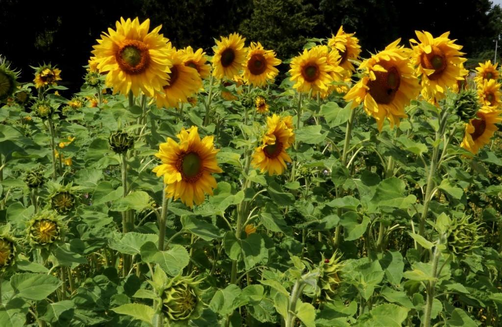 Sonnenblumen 2019.JPG