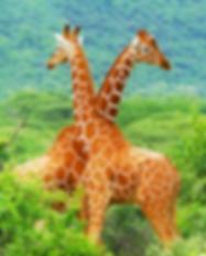 07_2 langues Girafe.png
