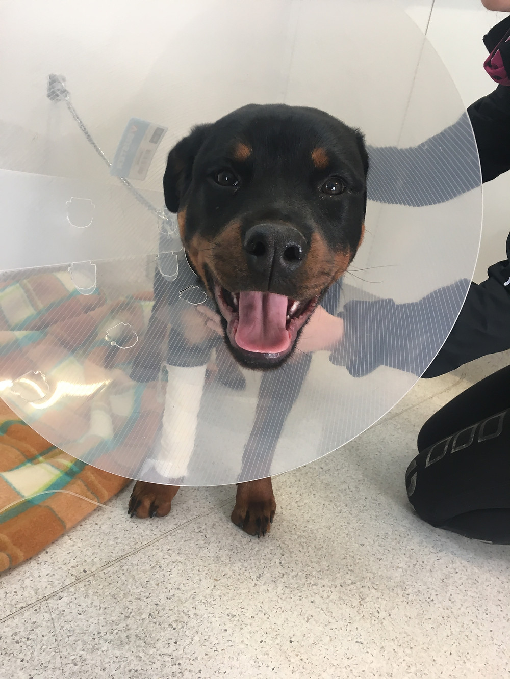 Rafael looking very happy after his surgery.