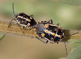 Bagrada-hilaris Find-A-Pest