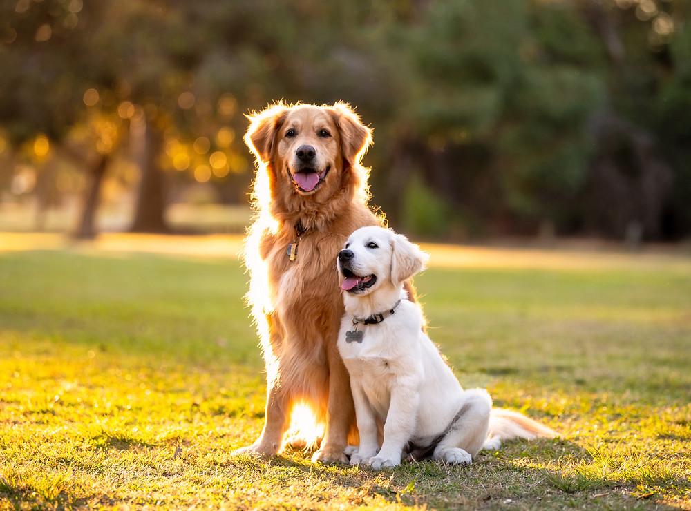 Cute Golden Retriever photos