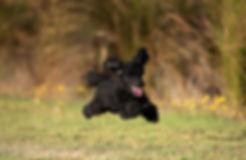 Black poode - Clyde