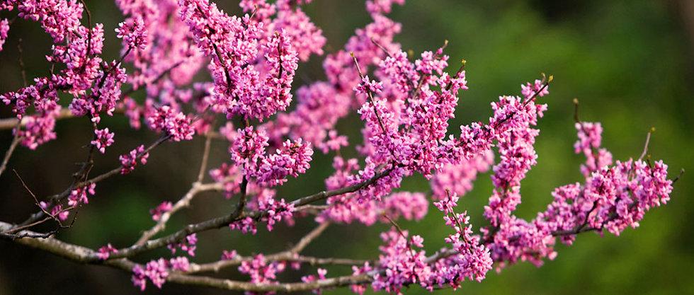 floweringtrees.jpg