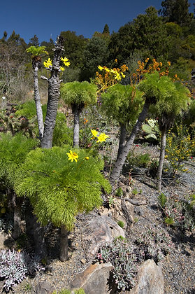 Coreopsis gigantea