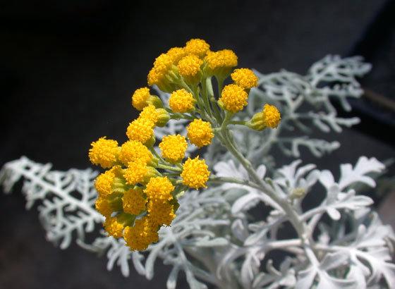 Eriophyllum nevinii