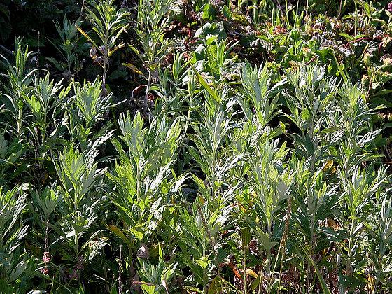 Artemisia dougasiana